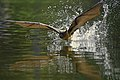 DSC00531 - Flying fox.jpg