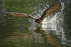 DSC00531 - Flying fox.jpg