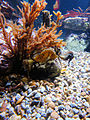 DSC28314, White Seahorse, Monterey Bay Aquarium, Monterey, California, USA (4413717831).jpg