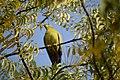 DSC 0346 green pigeon by Dr Pankaj Kumar Upadhyay.jpg