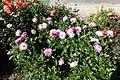 Dahlia @ Parc Floral @ Paris (29528307653).jpg