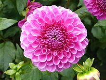 Fiore della Dahlia