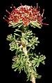 Darwinia sp. Morawa - Flickr - Kevin Thiele.jpg