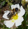 Dasypoda sp. (Melittidae), female - Flickr - gailhampshire (1).jpg