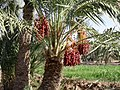 Dates- Gahmeh - panoramio.jpg