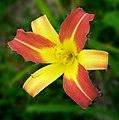 Daylily -- Hemerocallis 01.jpg