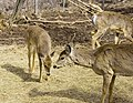 Deer, The Magnetic Hill Zoo, Moncton, New Brunswick, Canada (39567419365).jpg