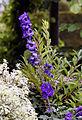 Delphinium - West Garden Hatfield House Herts England.jpg