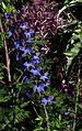 Delphinium elatum - Flickr - peganum.jpg
