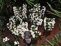 Dendrobium20140104 024.jpg