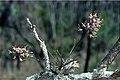 Dendrobium carronii.jpg