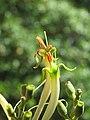 Dendrophthoe falcata var. falcata - Honey Suckle Mistletoe at Blathur 2017 (24).jpg