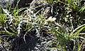 Desert Parsley (white-flowered Lomatium), Greater Sage Grouse Lek Count Near Steens Mountain, April 2016 (26515385204).jpg