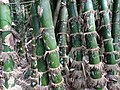 Detail of Bamboo Stand - Lawachara National Park - Outside Srimangal - Sylhet Division - Bangladesh (12928702835).jpg
