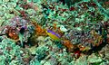 Diadem Dottyback (Pseudochromis diadema) (6100378858).jpg