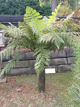 Dicksonia antarctica in Koishikawa gardens.jpg