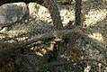 Didierea trollii 0zz.jpg
