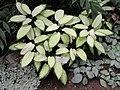 Dieffenbachia seguine - Botanischer Garten Freiburg - DSC06318.jpg