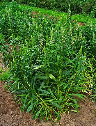 Digitalis lanata - Image: Digitalis lanata 001