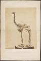 Dinornis giganteus - skelet - 1858 - Print - Iconographia Zoologica - Special Collections University of Amsterdam - UBA01 IZ18900261.tif