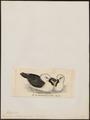 Diomedea chlororhyncha - 1820-1860 - Print - Iconographia Zoologica - Special Collections University of Amsterdam - UBA01 IZ17900160.tif