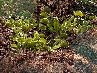 Pianta carnivora - Wikipedia