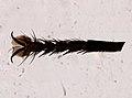 Diptera (YPM IZ 098561).jpeg
