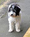 Dog Waiting At Whangarei RailStation (28854385064).jpg