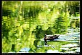 Domesticated ducks (5273800379).jpg