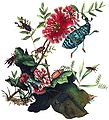 Donovan Coleoptera.jpg