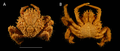 Dorsal and ventral views of male Maguimithrax spinosissimus, Florida.png
