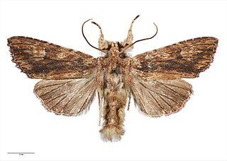 <i>Meterana pascoei</i> species of insect