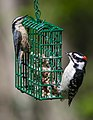 Downy Woodpecker And Red-Breasted Nuthatch (14270832243).jpg