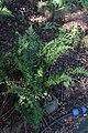 Dryopteris filix-mas Cristata in Jardin botanique de la Charme 02.jpg