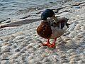 Duck Lake Como Italy 1.jpg
