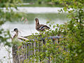 Ducks perching upon hide (14190971489).jpg