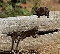 Dwarf mongoose 2014 04 29 4153.jpg
