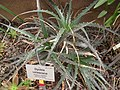 Dyckia velascana - Berlin Botanical Garden - IMG 8735.JPG