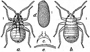 EB1911 Hexapoda - Bed-bug.jpg