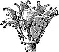 EB1911 Palaeobotany - Lagenostoma Lomaxii - seed restoration.jpg