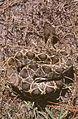 Eastern Diamondback Rattlesnake.jpg