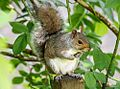 Eastern Gray Squirrel 1000x740.jpg