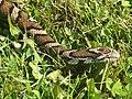 Eastern Milk Snake (9273329716).jpg