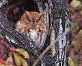 Eastern Screech Owl (31443453985).jpg