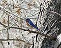 Eastern bluebird1.jpg