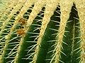 Echinocactus grusonii 2019-12-13 6523.jpg