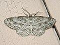 Ectropis crepuscularia - The Engrailed - Дымчатая пяденица сумеречная (27051804698).jpg