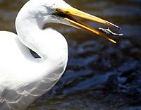 Egret and fish.JPG