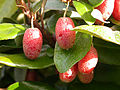 Elaeagnus-fruits.jpg