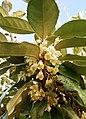 Elaeagnus ebbingei Blüte.jpg